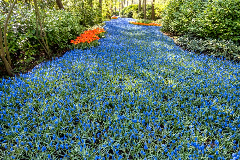 river of hyacinths at keukenhof gardens