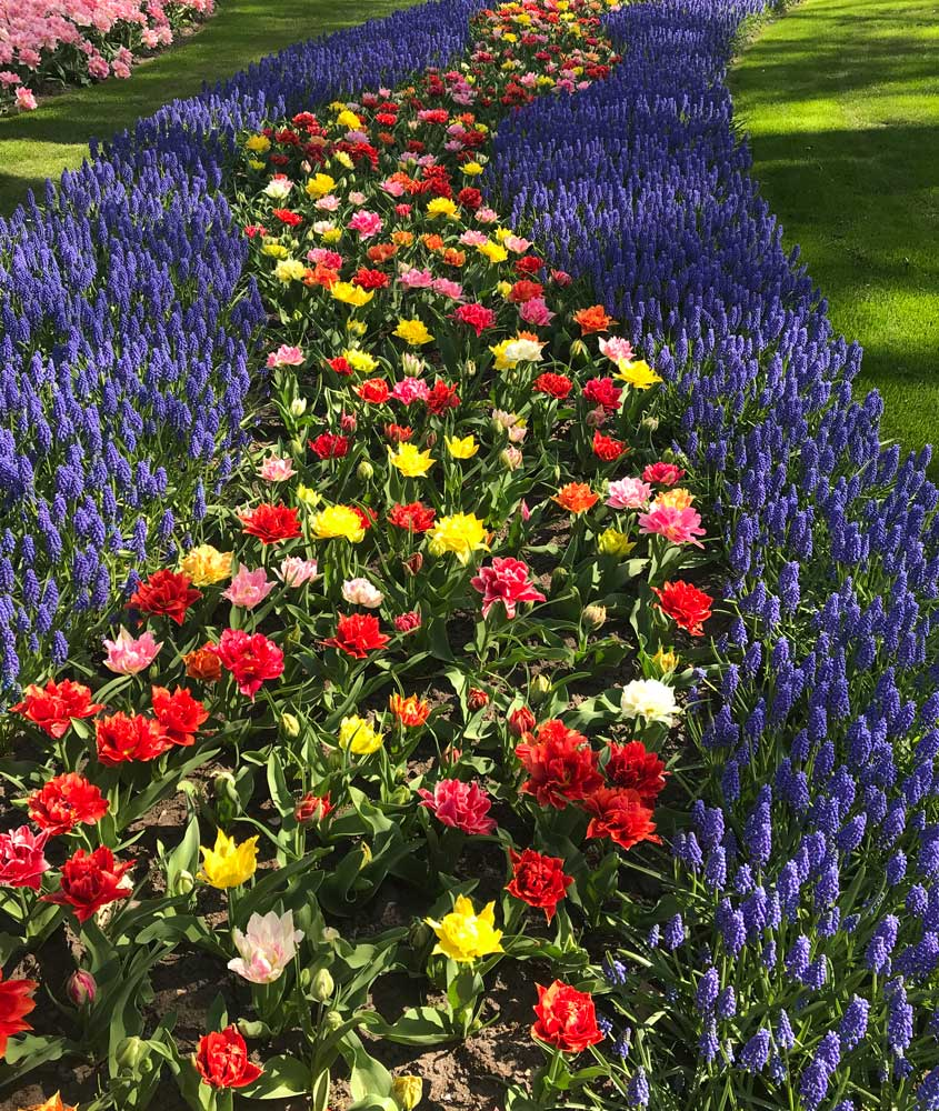 brightly coloured flowe bed at keukenhof gardens