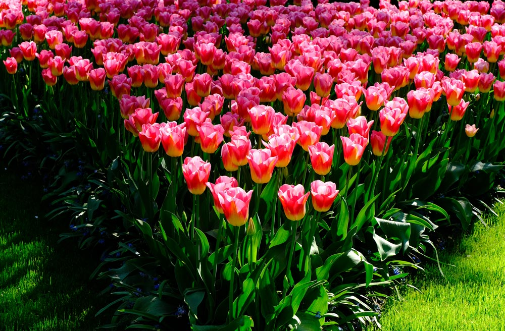 v-shaped bed of pink tulips