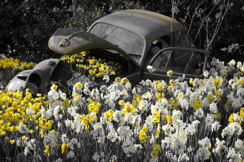 old car amidst yellow and white flowers