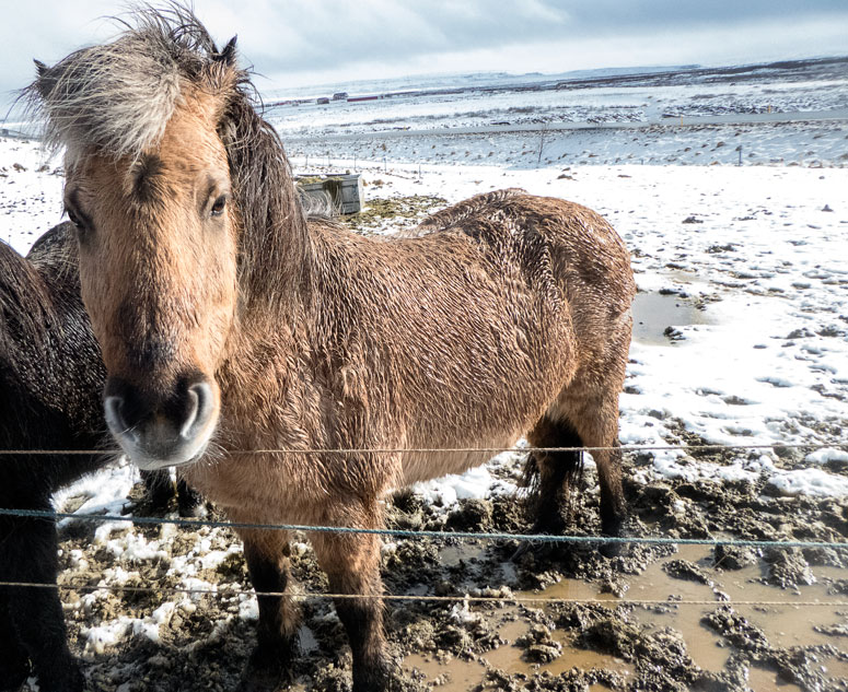icelandic horse in a snow covered field